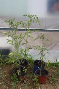 Les même tomate mais toujours en pot: